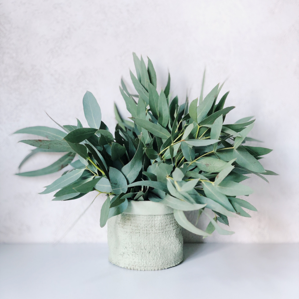 Supplement Guide: Eucalyptus is a tree that is native to Australia. The eucalyptus leaves and eucalyptus oil are used to make different products and for many purposes.